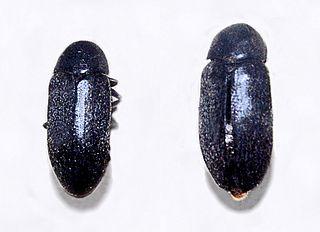 <i>Dermestes maculatus</i> species of beetle