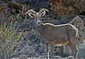 Desert Bighorn Sheep near Lake Mead, Nevada (30941171893).jpg