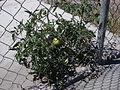 Desert plants 42.JPG