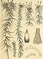 Deutschlands moose, oder Anleitung zur kenntniss der laubmoose Deutschlands, der Schweiz, der Niederlande und Dänemarks für anfänger sowohl wie für forscher bearb (1853) (20703211429).jpg