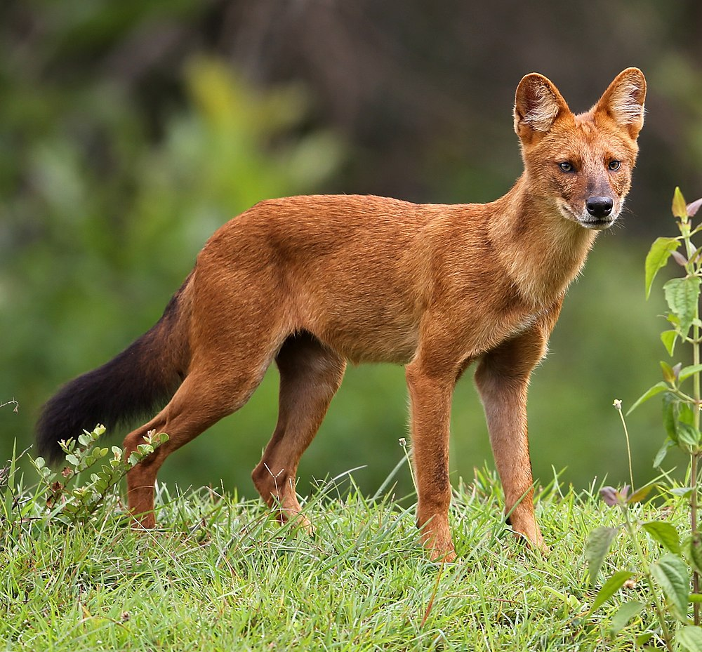The average adult weight of a Dhole is 15.85 kg (34.94 lbs)