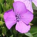 Dianthus japonicus (flower s3).jpg