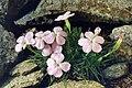Dianthus microlepis ssp musalae.jpg