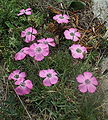 Dianthus pavonius2.jpg