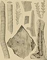 Die Versteinerungen des rheinischen Schichtensystems in Nassau. Mit einer kurzgefassten Geognosie dieses Gebietes und mit steter Berücksichtigung analoger Schichten anderer Lander (1850) (14597501350).jpg