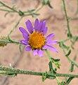 Dieteria canescens var canescens 2.jpg