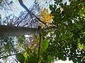 Diospyros lotus (1).JPG