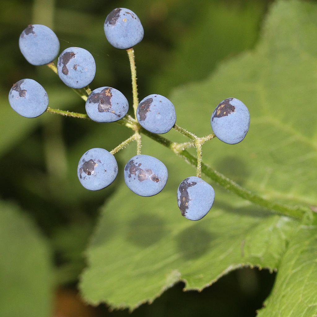 http://upload.wikimedia.org/wikipedia/commons/thumb/0/01/Diphylleia_grayi_(fruits_s2).JPG/1024px-Diphylleia_grayi_(fruits_s2).JPG