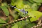 Diplacodes trivialis male-Kadavoor-2016-03-23-001.jpg