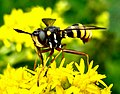 Diptera (2738976311).jpg