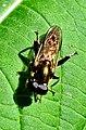 Diptera Xylota segnis (2750669831).jpg
