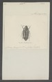 Dirrhina - Print - Iconographia Zoologica - Special Collections University of Amsterdam - UBAINV0274 022 05 0009.tif