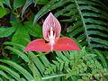 Disa uniflora - Flickr 003 (1).jpg