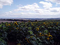 Distant views over field of sunflowers - geograph.org.uk - 223382.jpg