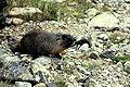 Dixi-Marmota-2005.jpg