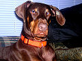 Dobermann Otis 2010.jpg
