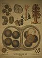 Dodel-Port Atlas Lavatera trimestris (Fol. B) XXXII 01.jpg