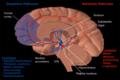 Dopamine and serotonin pathways.png