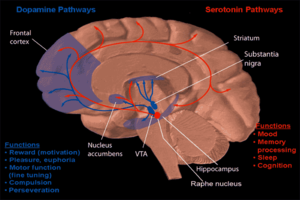 Nucleus accumbens - Image: Dopamine and serotonin pathways