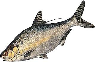 <i>Dorosoma</i> genus of fishes