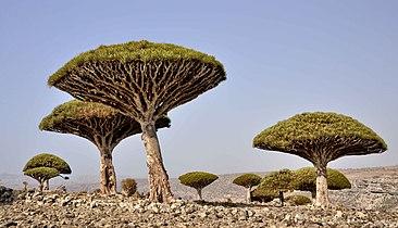Dragon's Blood Tree, Socotra Is (12473612124).jpg