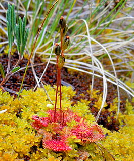 Drosera rotundifolia no.JPG