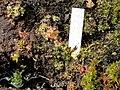 Drosera spatulata - Copenhagen Botanical Garden - DSC07978.JPG