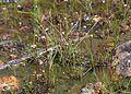 Drosera tokaiensis and Drosera rotundifolia.jpg
