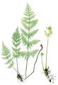 Dryopteris carthusiana Moore-21.png