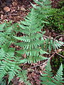 Dryopteris cartusiana leaf.jpg