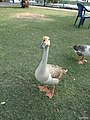 Ducks in the Quaid-e-Azam Park 2 - panoramio.jpg