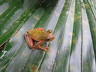 Chamula mountain brook frog Species of amphibian