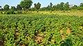 Dugariya, Madhya Pradesh 471101, India - panoramio (53).jpg