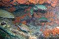Dusky squirrelfish Sargocentron vexillarium (4683571653).jpg