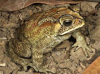 Duttaphrynus melanostictus - Image: Duttaphrynus melanostictus