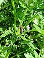 Dysdercus mimulus (Family Pyrrhocoridae).jpg