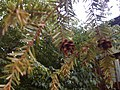 Early drought conifer.jpg
