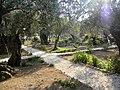 East Jerusalem, Olive Mountain (Gethsimani Garden); 11-3000-100 (2).jpg