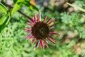 Echinacea purpurea in Jardin botanique de la Charme 03.jpg