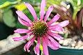 Echinacea tennesseensis Rocky Top 3zz.jpg