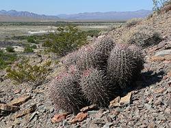 Echinocactus polycephalus 4.jpg