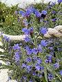 Echium vulgare 154531911.jpg