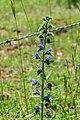 Echium vulgare in Aveyron (1).jpg