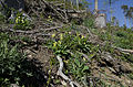 Echte Schlüsselblume (Primula veris) 7464.jpg