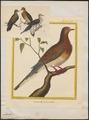 Ectopistes marginata - 1700-1880 - Print - Iconographia Zoologica - Special Collections University of Amsterdam - UBA01 IZ15600349.tif