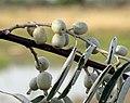 Elaeagnus angustifolia L. - Dafina.jpg