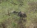 Elephant,masanagudi,tamilnadu - panoramio.jpg