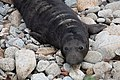 Elephant Seal (immature) Fish Docks Pt Reyes Marin CA 2019-03-04 13-13-26 (48032363383).jpg