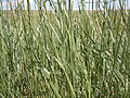 Elymus flavescens or a similar species (5886849622).jpg