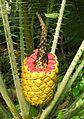 Encephalartos villosus cone.jpg